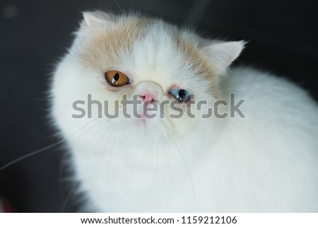 Exotic Shorthair Breed Cat Developed Be Stock Photo (Edit Now