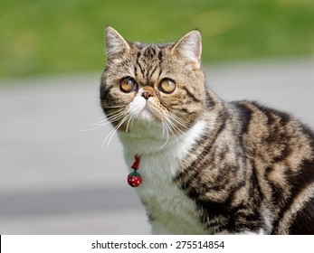 Exotic shorthair cat with bell on neck