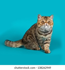Exotic shorthair cat color brawn tabby