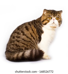 Exotic shorthair cat color brawn tabby with white on white background, slight shadow