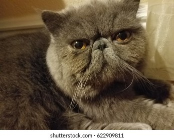 Exotic Shorthair cat, also known as the Shorthaired Persian.