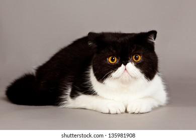 Exotic Shorthair Kitten Images, Stock Photos & Vectors