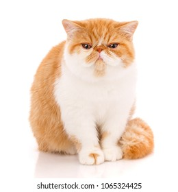 Exotic shorthair cat, , sitting in front of white background