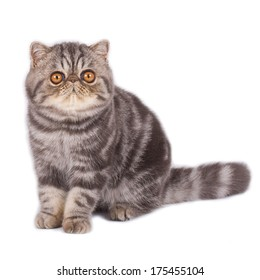 Exotic shorthair cat sitting and looking at the camera  on a white background