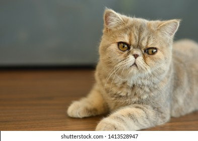Exotic Shorthair Cat with wide eyes sitting on a wooden table looking into camera giving funny expressions