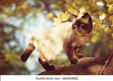 exotic shorthair colorpoint cat on the tree