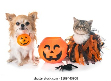 exotic shorthair kitten and chihuahua in front of white background