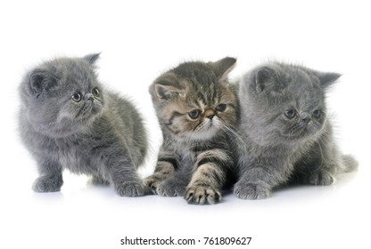 exotic shorthair kitten in front of white background