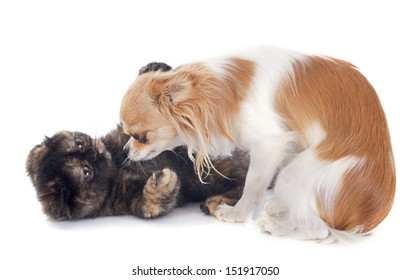 Exotic Shorthair kitten playing with a chihuahua in front of white background