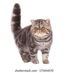 Exotic shorthair kitten with a raised tail