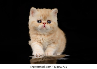 Exotic Shorthair kittens are beige on a black background.