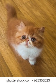 Exotic Shorthair Red Tabby Kitten on the wooden floor. Florida, USA.