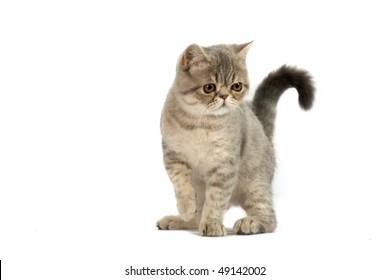 Exotic short-haired kitten. Color blue tabby spotty.