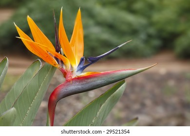 Exotic southern flower Strelitzia in tropical park in Israel