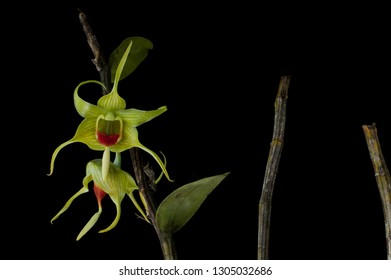 Exotic species orchid Dendrobium tobaense from Toba Lake