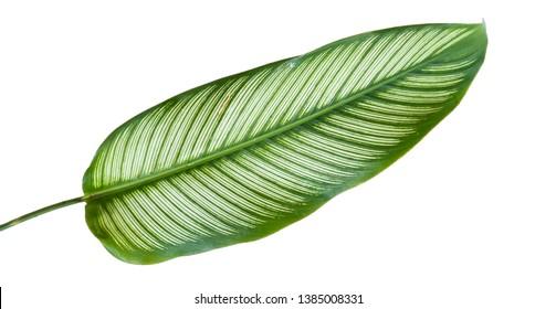 Exotic striped leaves Calathea Ornata Albolineata with a isolated background