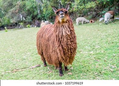 Exotic suri alpaca in the peruvian andes