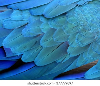 Exotic texture of Blue and gold macaw bird's feathers, beautiful blue background of parrot