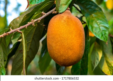 Exotic Cupuaçu (Theobroma Grandiflorum) Fruit on Tree, Super Amazonian Fruit with Extraordinary Nutritional and Cosmetic Properties in Riberalta, Beni / Bolivia