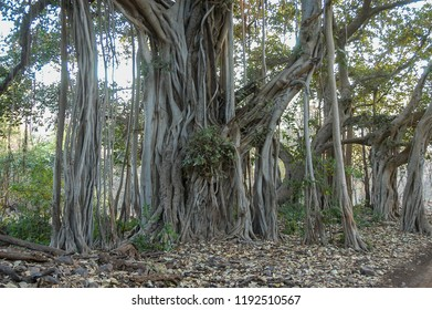 Exotic trees in the Ranthambore National Park, Rajasthan, India