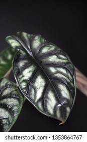 Exotic tropical Alocasia Baginda Cuprea Dragon Scale potted house plant on dark black background