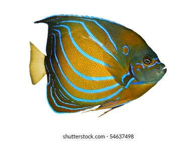 Exotic tropical fish isolated on white