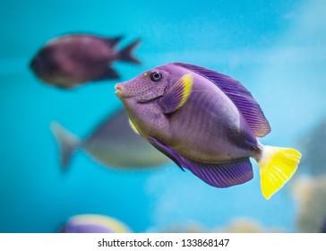Exotic tropical fish purple Yellowfin surgeonfish Acanthurus xanthopterus closeup