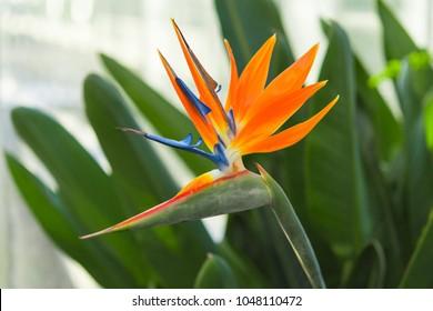 Exotic tropical flower of Strelitzia reginae or bird of paradise in greenhouse