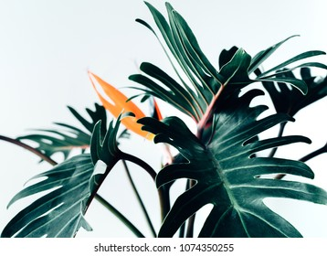 Exotic tropical flower strelizia and xanadu leaves on white background.nature concepts ideas