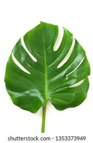 Exotic tropical leaf of Monstera (Swiss Cheese Plant) isolated on white background.