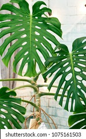 Exotic tropical Monstera palm leaves, copy space. Green leaves of monstera palm or split-leaf philodendron. Monstera deliciosa foliage plant. Exotic plant. Floral Pattern. Monstera leaves at home