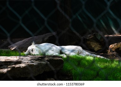 An exotic white tiger napping in the shade to cool off from the heat of the climate.