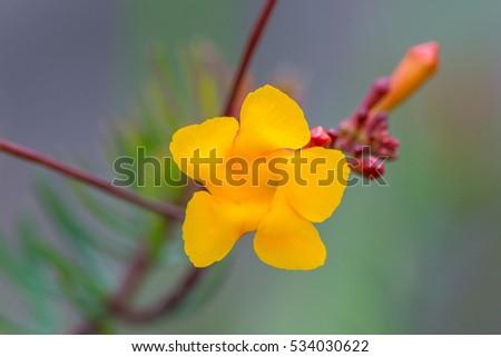 Exotic yellow flower five petals found stock photo edit now exotic yellow flower with five petals found in canaima national park venezuela mightylinksfo