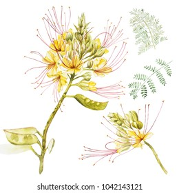 Exotic yellow flowers caesalpinia. Watercolor hand drawn botanical illustration of flowers isolated on a white background.