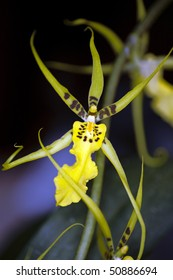 Exotic Yellow Orchid