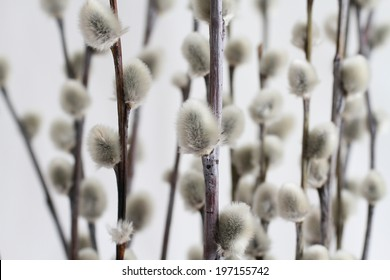 Expanded buds on pussy willow against white background