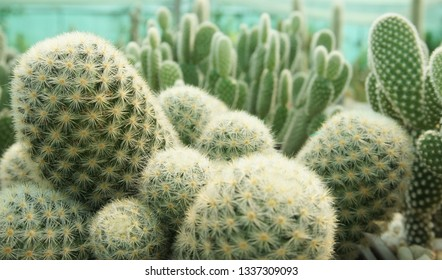 Expanding of cactus,succulent for collection