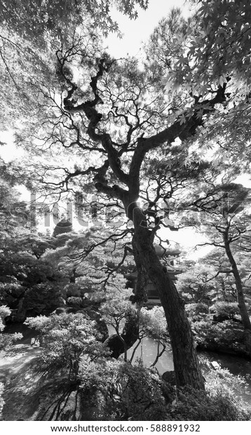 Expanding view of a tall maple tree in Japanese Garden.