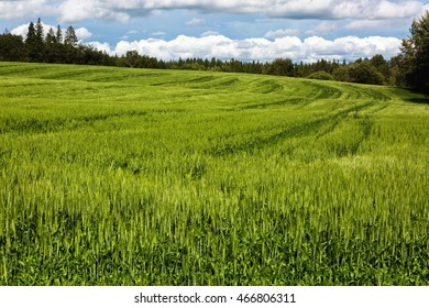 expansive field of young wheat along edge of forest