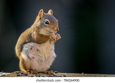 Expecting American Red Squirrel (Tamiasciurus hudsonicus) appears to be smiling as she enjoys a snack; dark blue background