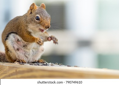 Expecting American Red Squirrel (Tamiasciurus hudsonicus) appears to be smiling as she enjoys a snack against blue and white background