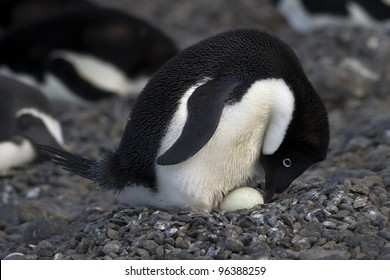 Expedition to the Poles (Adelie Penguin)