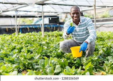 Experienced male farmer happy with process of growing of Malabar spinach in glasshouse