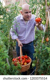 Experienced male hothouse worker harvesting fresh tomatoes