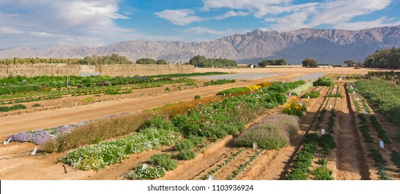 experimental farm in the Arava Desert in Israel with the Moav Mountains of Jordan in the background