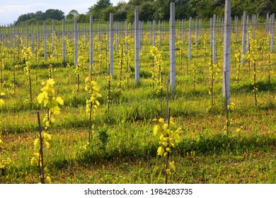 Experimental vineyard in public botanical garden. Silesian Botanical Garden in Mikolow, Poland.