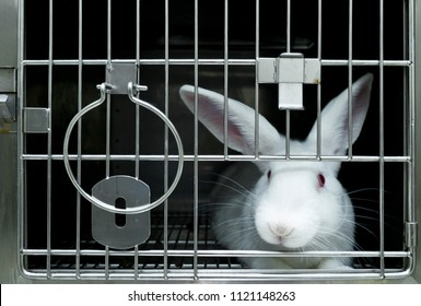 Experimental white rabbits in laboratory for drug developments