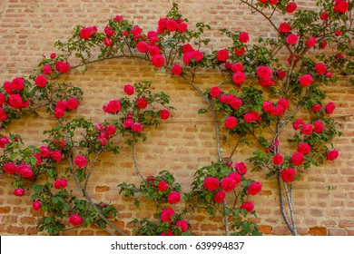 an explosion of blooming coloured roses  /a roses climb on a brick wall     SUS