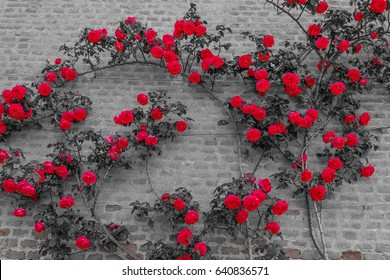 an explosion of blooming coloured roses  / a roses  climb on a brick wall