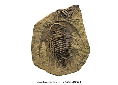 Exposed fossil of a trilobite on a fossilized sediment plate